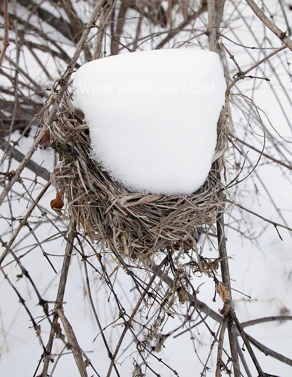 Middletown, New York - Snow fills an abandoned bird's nest on Jan. 16, 2011.