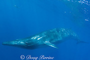 Bryde's whale, Balaenoptera brydei or Balaenoptera edeni, off Baja California, Mexico ( Eastern Pacific Ocean ), with striped marlin in background at upper left