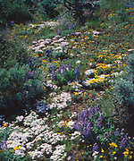 Lupine, phlox, goldstars and sagebrush near the Columbia River and Vantage, Washington, USA