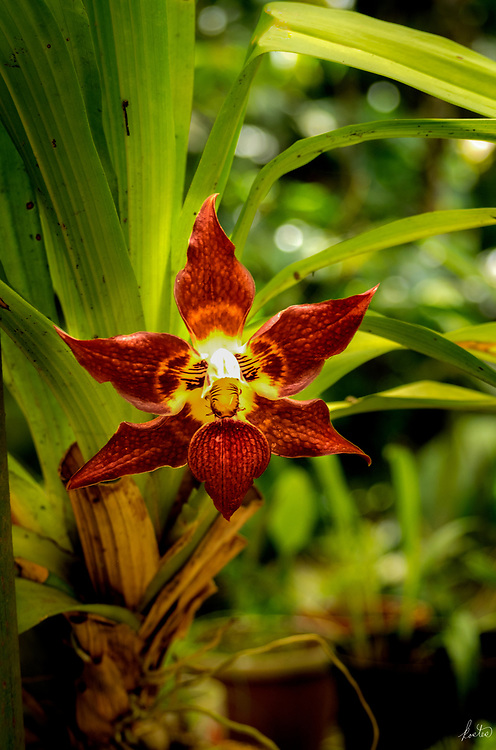 A Red Face Orchid in the jungle.