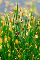 Exuvia of DRAGONFLY Anax imperator, Campanarios de Azaba Biological Reserve, Salamanca, Castilla y Leon, Spain, Europe