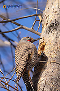 Northern Flicker pecking in tree at Woodland Park in Kalispell, Montana, USA