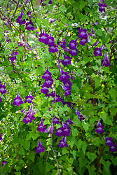 Asarina scandens 'Violet'. Climbing snapdragon
