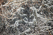 winter snow storm and trees close up