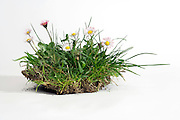 oxeye daisy flowers with grasses and soil in studio setting on a white background