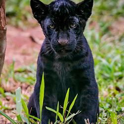Onça-preta (Panthera onca) fotografado em Goiás - Centro-Oeste do Brasil. Bioma Cerrado. Registro feito em 2015.<br /> ⠀<br /> ⠀<br /> <br /> <br /> <br /> <br /> <br /> ENGLISH: Jaguar photographed in Goias - Midwest of Brazil. Cerrado Biome. Picture made in 2015.