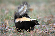Striped Skunk (Mephitis mephitis) - Minnesota  USA, captive