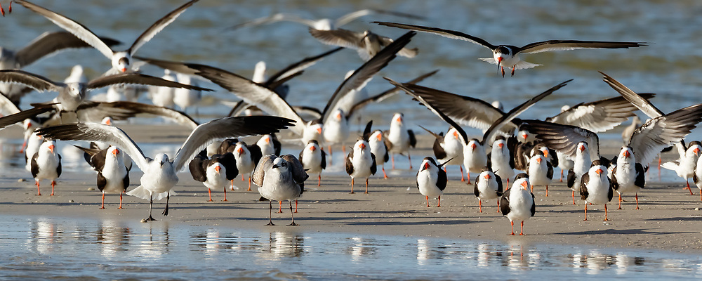 Black skimmers and seagulls landing on sandbar, San Carlos Bay, Florida, © David A. Ponton