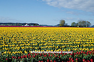 67221-00215 Red & Yellow Tulips in field  Skagit Valley  WA