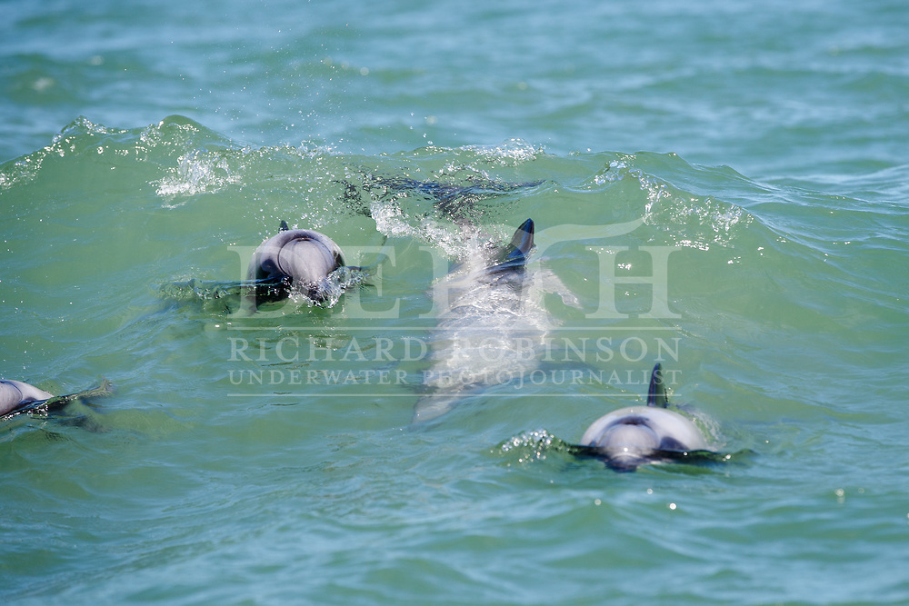 Maui's dolphin (Cephalorhynchus hectori maui). The University of Auckland and Department of Conservation 2019 Survey off Cochranes Gap, Auckland, New Zealand.<br /> Tuesday 12 February 2019.<br /> Photograph Richard Robinson © 2019.