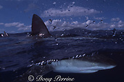 Galapagos shark, Carcharhinus galapagensis, North Shore, Oahu, Hawaii, USA ( Central Pacific Ocean )
