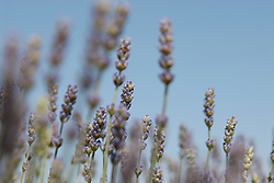 detail of lavender from Provence, France