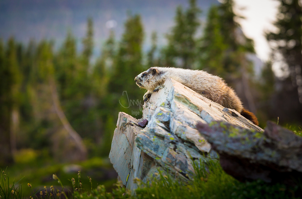 Marmots are large squirrels in the genus Marmota, of which there are 15 species. Marmots mostly live in mountainous areas, such as the Alps, northern Apennines, Eurasian steppes, Carpathians, Tatras, and Pyrenees in Europe and northwestern Asia; the Rocky Mountains, Black Hills, Cascades, Pacific Ranges, and Sierra Nevada in North America; and the Deosai Plateau in Pakistan and Ladakh in India. The groundhog of North America is a lowland marmot. The similarly sized, but more social, prairie dog is not classified in the genus Marmota but in the related genus Cynomys.<br /> <br /> Marmots typically live in burrows (often within rockpiles, particularly in the case of the yellow-bellied marmot), and hibernate there through the winter. Most marmots are highly social and use loud whistles to communicate with one another, especially when alarmed.<br /> <br /> Marmots mainly eat greens and many types of grasses, berries, lichens, mosses, roots, and flowers.