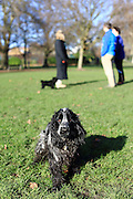 Henry the cocker spaniel puppy getting very muddy in the park