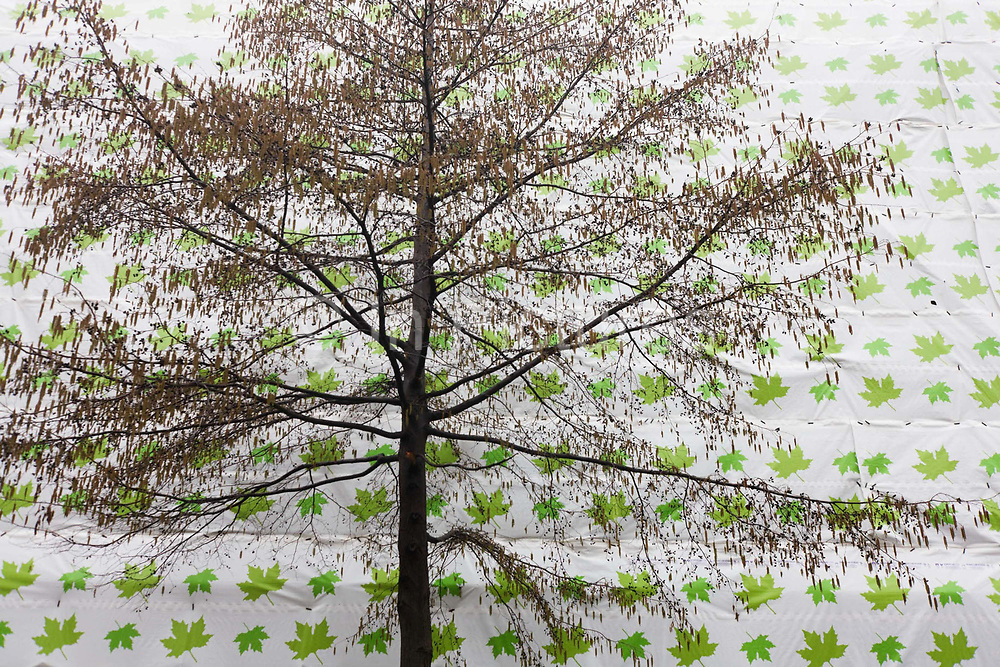 A bare winter tree with bare branches in front of construction sheeting themed with green leaves. Seen from below, at street level, the tree's branches are like twigs with only the remnants of its seasonal foliage. But green leaves are there in the form of a giant repeating graphic pattern of maple leaf, coloured green to juxtapose against the bleaker form of the tree, an incongruous scene of irony.