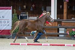 002, Windsor van' Neerhof<br /> Hengstenkeuring Brp- Azelhof - Lier  2021<br /> © Hippo Foto - Dirk Caremans<br /> 14/04/2021