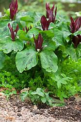 Using self sown seedlings. Trillium chloropetalum showing self sown seedling in the gravel