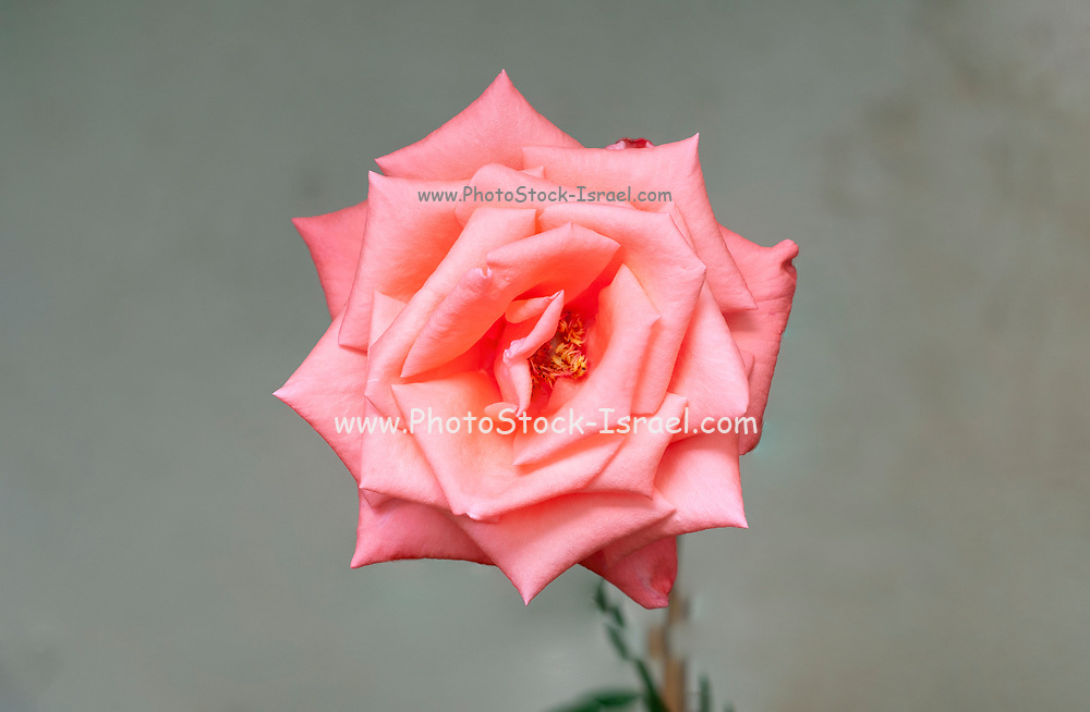 Close up of a perfect Salmon rose head
