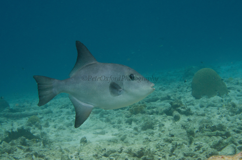 Ocean Triggerfish (Canthidermis sufflamen)<br /> BONAIRE, Netherlands Antilles, Caribbean<br /> HABITAT & DISTRIBUTION: Open water, above outer reefs and drop-offs. <br /> Florida, Bahamas, Caribbean, Gulf of Mexico, Bermuda south to Brazil.
