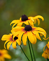 Black-eyed Susan. Image taken with a Leica SL2 camera and 90-280 mm lens