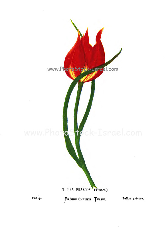 Tulip, Tulipa praecox [Probably Tulipa agenensis] From the book Wild flowers of the Holy Land: Fifty-Four Plates Printed In Colours, Drawn And Painted After Nature. by Mrs. Hannah Zeller, (Gobat); Tristram, H. B. (Henry Baker), and Edward Atkinson, Published in London by James Nisbet & Co 1876 on white background