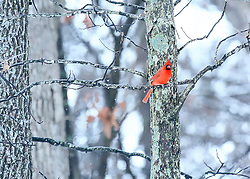 A cold male Northern Cardinal adds a splash of color to an otherwise dull gray winter afternoon in the woods