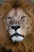 Lion (Panthera leo), Masai Mara National Reserve, Kenya.