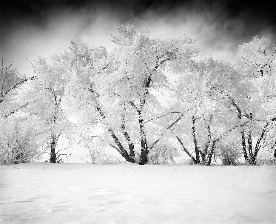 Trees covered in hoar frost with fog lifting in the background, Beiseker, AB.