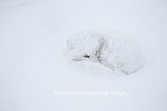 01863-01611 Arctic Fox (Alopex lagopus) curled up in winter Churchil Wildlife Management Area Churchill, MB