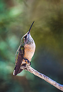 Female black-chinned hummingbird.