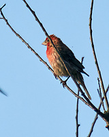 House Finch. Image taken with a Nikon D800 camera and 600 mm f/4 VR lens with a 2.0x TC-E