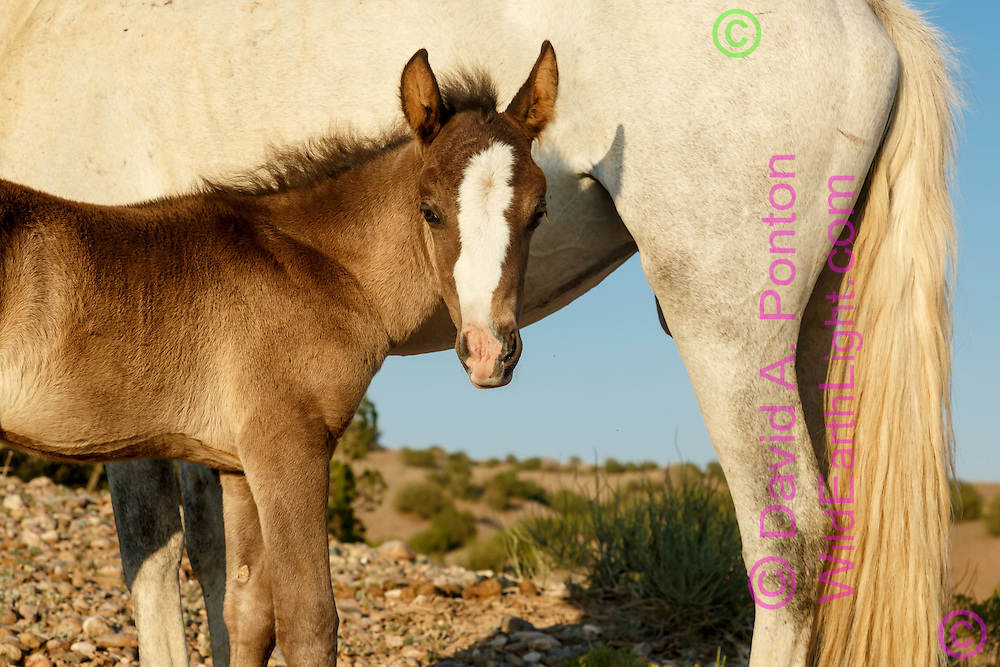 Wild horse filly pauses during nursing, near Placitas, New Mexico. Horses roaming free on land near Placitas have long been referred to as the Placitas wild horses. © David A. Ponton
