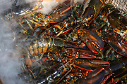 Steaming lobsters cooking in a wire basket with steam rising