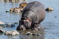 Hippopotamus adult and calf, Hippopotamus amphibius, in a pond in Serengeti National Park, Tanzania