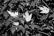 March 2014, Fish Eating Creek: Spring leaves make color changes, shown in black and white with dark background and white leaves standing out. RAW to Jpg
