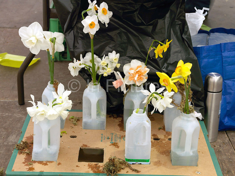 A selection of narcissi flowers being prepared for showing at the Harrogate Spring Show, Harrogate, North Yorkshire, UK.