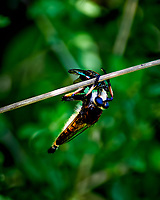 Robber Fly with a Meal. Image taken with a Nikon D4 camera and 70-300 mm VR lens (ISO 200, 300 mm, f/5.6, 1/1000 sec)