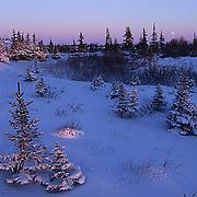 Black Spruce forest in late evening light near Churchill, Manitoba. Canada.