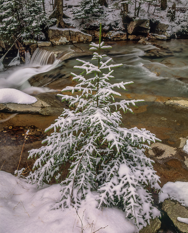 Snow covered spruce tree sapling alongside Pemigewasset River in winter, Franconia Notch State Park, Franconia, NH