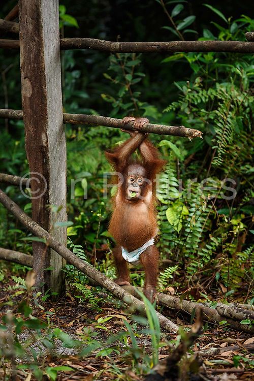 An infant orang-utan play in the nursery at Nyaru Menteng Rehabilitation Centre, run by the Borneo Orangutan Survival Foundation, in Central Kalimantan, Borneo, Indonesia on 27th May 2017. Baby orang-utans are rescued from situations including being illegally kept as pets and being orphaned by loggers or workers on palm oil plantations. The centre houses around 450 rescued orangutans who have been displaced from their habitats by human activity. They undergo a rehabilitation process that trains them how to live in the wild. This animal is wearing a nappy to stop him from eating his faeces, and becoming sick.