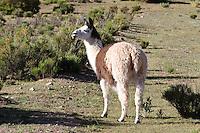 LLAMA (Lama glama) PASTANDO, PROV. DE JUJUY, ARGENTINA