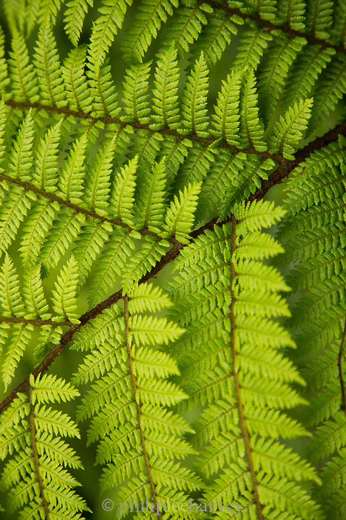 Close-up of green fern plants on Routeburn Track between Lake Mackenzie to Divide Shelter, South Island, New Zealand
