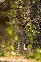 Whitetail Deer (Odocoileus virginianus) Aravaipa Canyon Preserve, AZ.