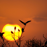 Crested CaraCaras and Turkey Vultures roost on tree branches at sunset on the Hoffman Ranch.