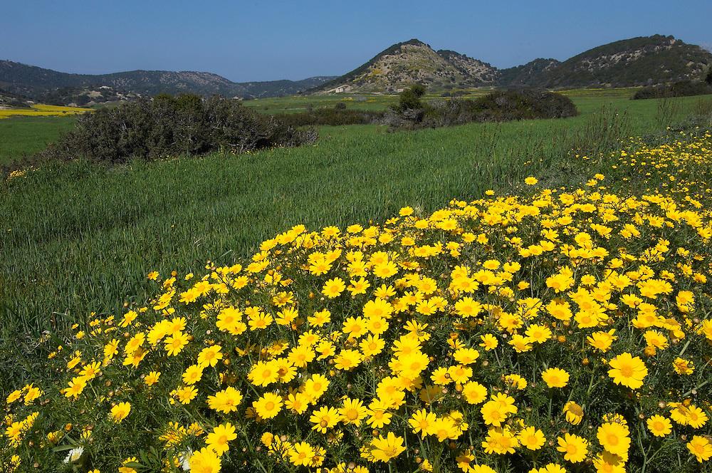 Crown Daisys (Chrysanthemum coronarium), Karpaz Peninsula, Northern Cyprus