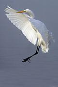 Great Egret landing.(Ardea alba).Back Bay Reserve, California