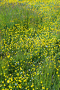 Bright yellow buttercups - Ranunculus - and grasses in a meadow in spring / early summer in The Cotswolds, Oxfordshire, UK