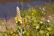 Common mullein has yellow blossoms on tall stalks. On the right is bladder campion.