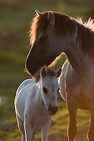 Konik horse mare and young foal. Oostvaardersplassen, Netherlands. Mission: Oostervaardersplassen, Netherlands, June 2009.