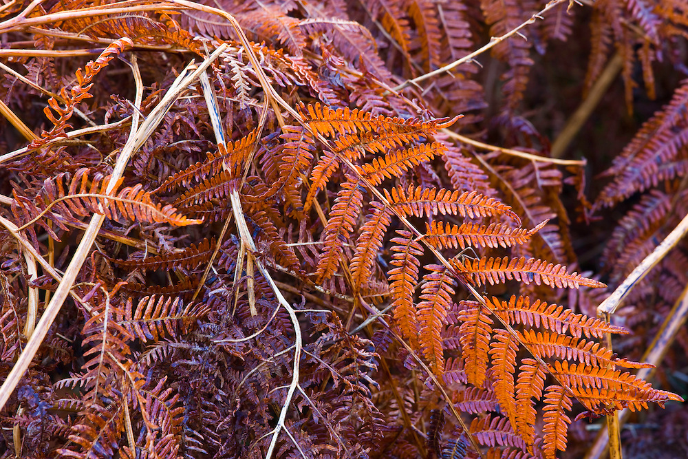Ferns (Woodsiaceae sp.) , The Elan Valley, Rhayader, Mid-Wales, UK   , HELECHOS,  VALLE DE ELAN, RHAYADER, GALES MEDIO, REINO UNIDO